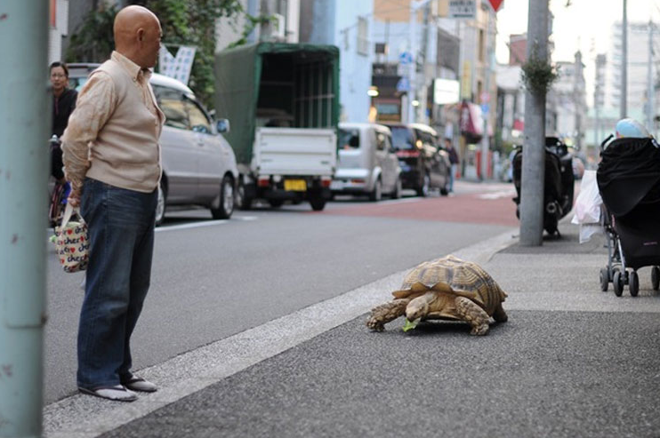 A Man Walks With A Gigantic Turtle In Tokyo Stylish Brush - Man walks pet tortoise through tokyo